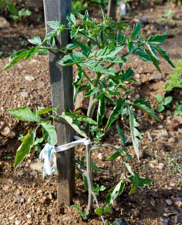 Подвязывать томаты нужно по мере роста стебля, не давая ему наклоняться