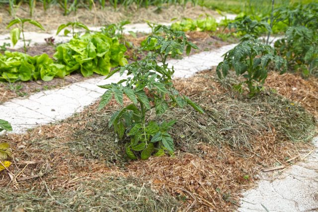 Поддерживайте слой мульчи у томатов постоянным