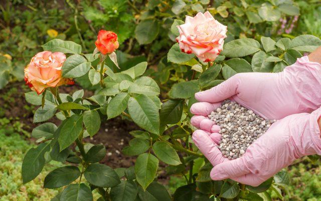 Правильная подкормка – залог здоровья цветка