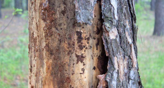 Дерево, которое пожирают короеды, начинает проявлять признаки болезни