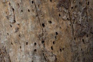 В коре, где кормились короеды, начинают появляться маленькие дырочки