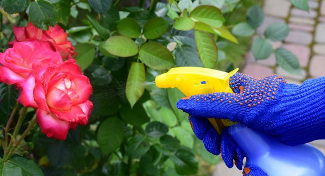 Опрыскивание розы раствором удобрения
