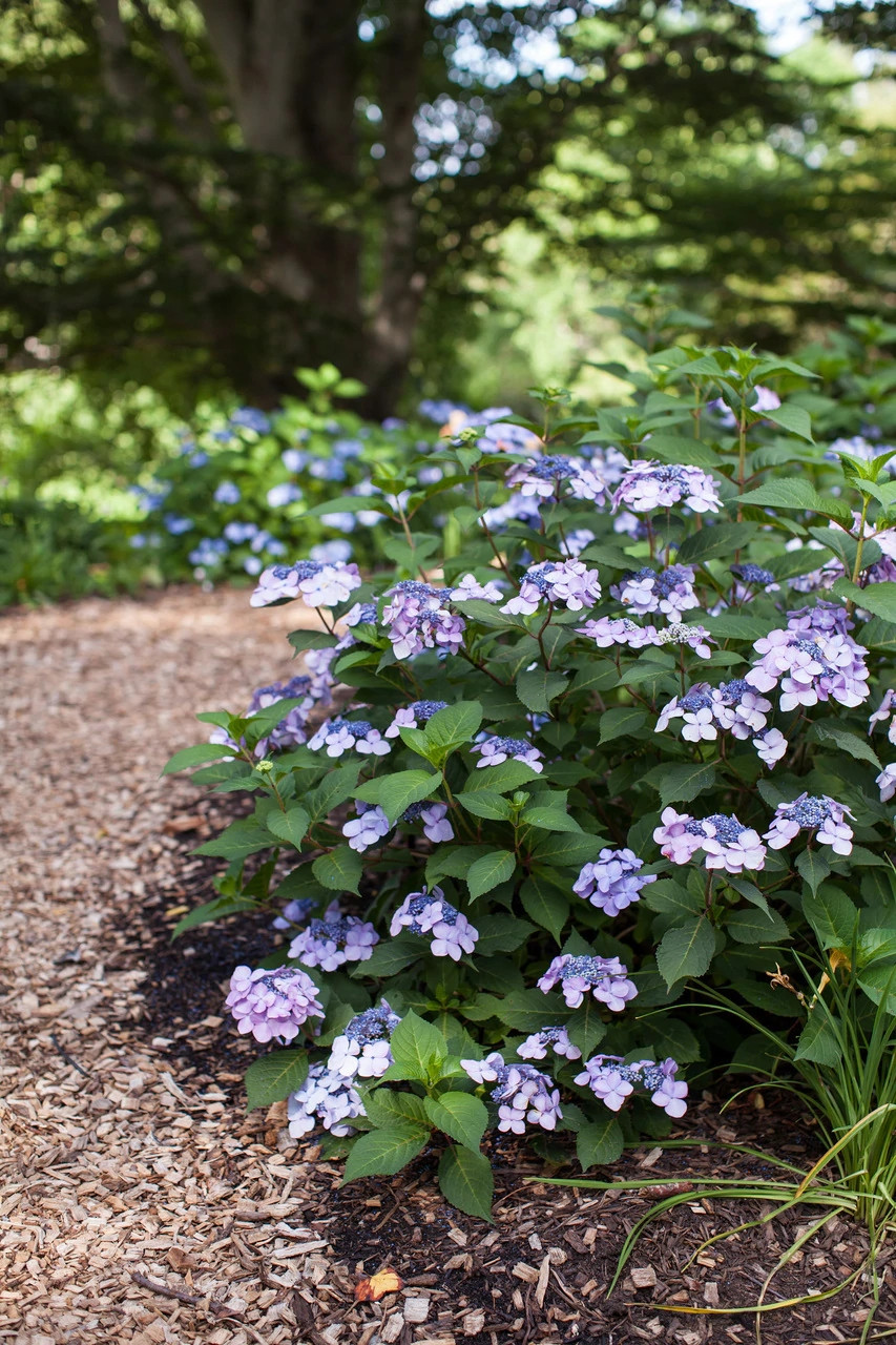 Гортензия крупнолистная «Твист энд Шаут» (Hydrangea macrophylla Endless Summer® 'Twist & Shout')