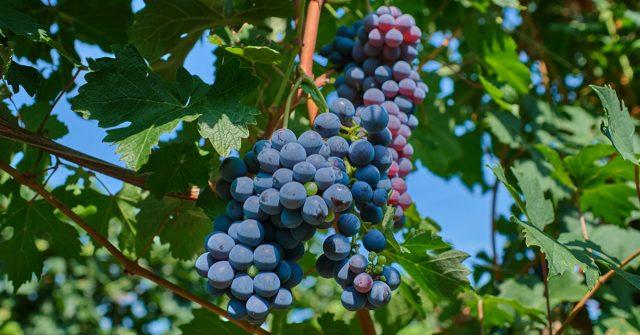 Грозди красного винограда