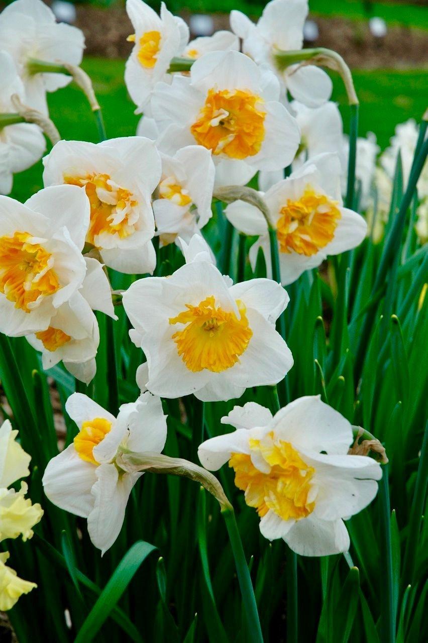 Нарцисс «Долли Молинджер» (Narcissus 'Dolly Mollinger')