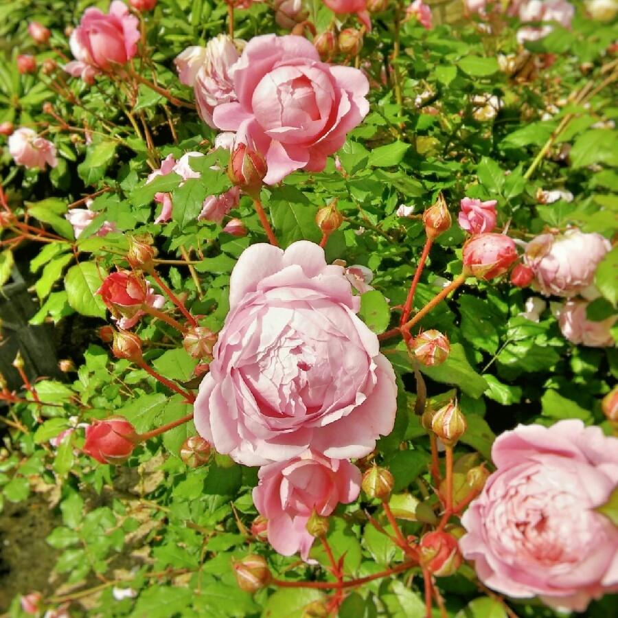 Роза английская кустовая «Алан Титчмарш» (Rose 'Alan Titchmarsh')