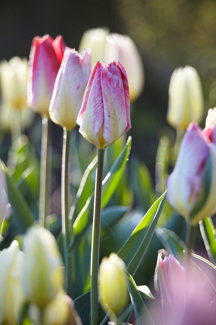 Тюльпан фостера «Флейминг Пуриссима» (Tulipa fosteriana 'Flaming Purissima')