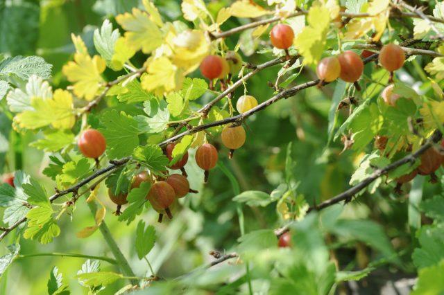 Здоровый куст крыжовника приносит хорошие плоды