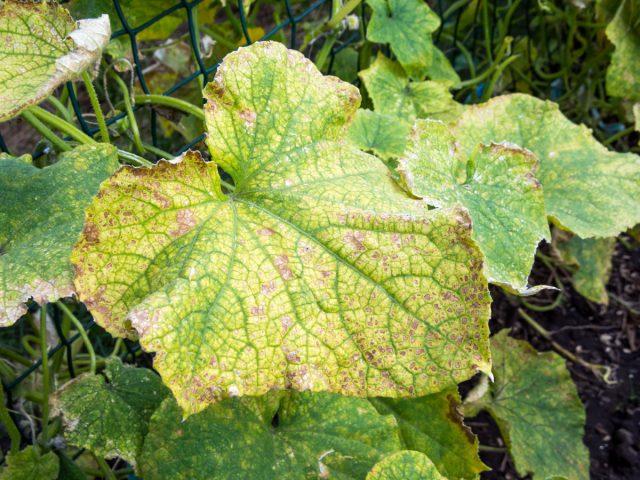 Пятнистость на листьях огурца