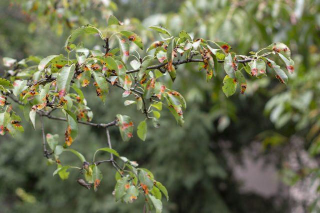 Проявление ржавчины на листве