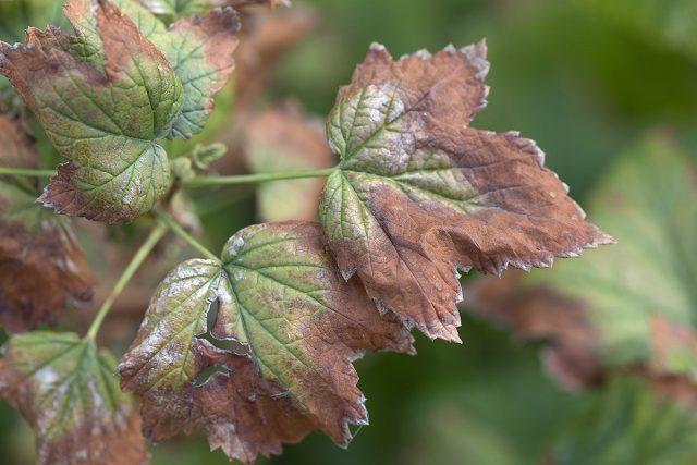 Фузариоз на листьях