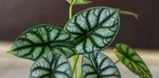 Алоказия — неимоверно эффектные листья в правильных условиях