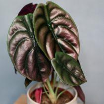 Алоказия медно-красная (Alocasia cuprea)