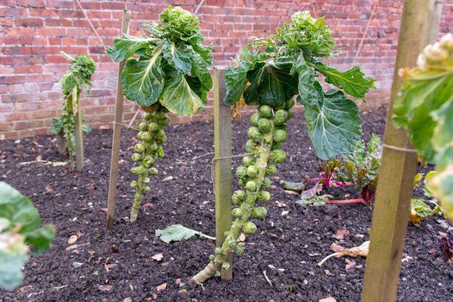 Для устойчивости толстых стеблей брюссельской капусты можно установить опоры