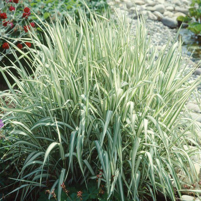 Пушистое объёмное растение фалярис