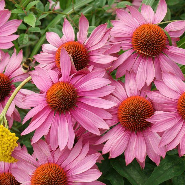 Не только красивый, но и лекарственный цветок эхинацея