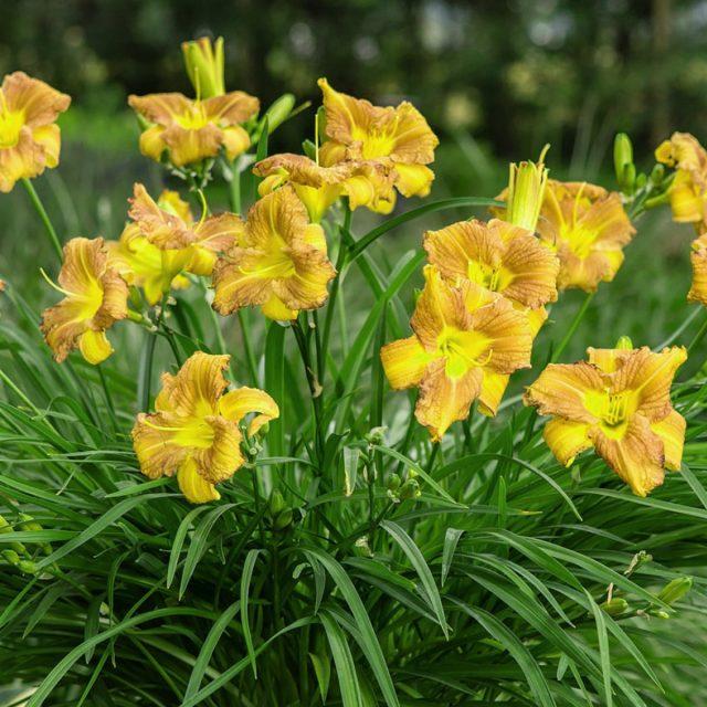 Солнечный лилейники станут украшением сада