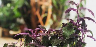 Гинура — бархатная королева ампелей
