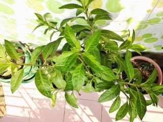 Гинура распростертая (Gynura procumbens)