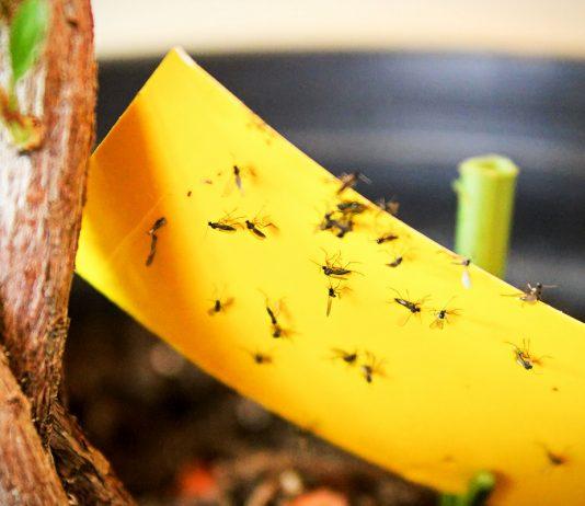 Грибные комарики — как защитить комнатные растения и рассаду?