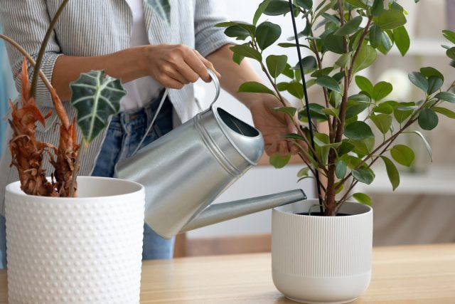 Взрослым растениям серьезно навредить сциариды не могут, поэтому их присутствия можно не заметить