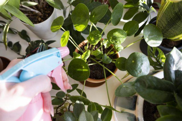 Чтобы использовать пиретрины, слегка опрыскайте все поверхности растений и верхний слой почвы