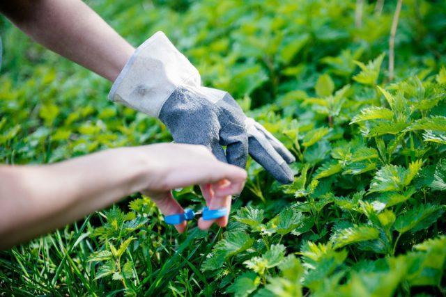 Сбор трав нужно проводить в фазу развития, подходящую для заготовки каждого отдельного вида