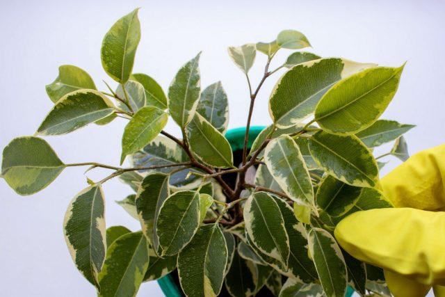 Проведите пробную обработку одного-двух листьев и понаблюдайте