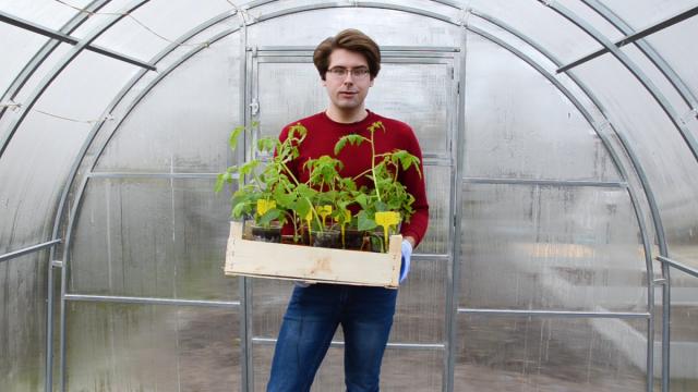 Как пересадить рассаду томатов и перцев в теплицу правильно