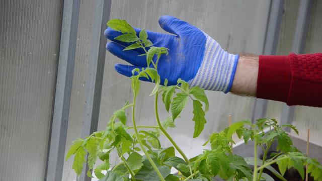 Нужно ли обрывать листья перед пересадкой?