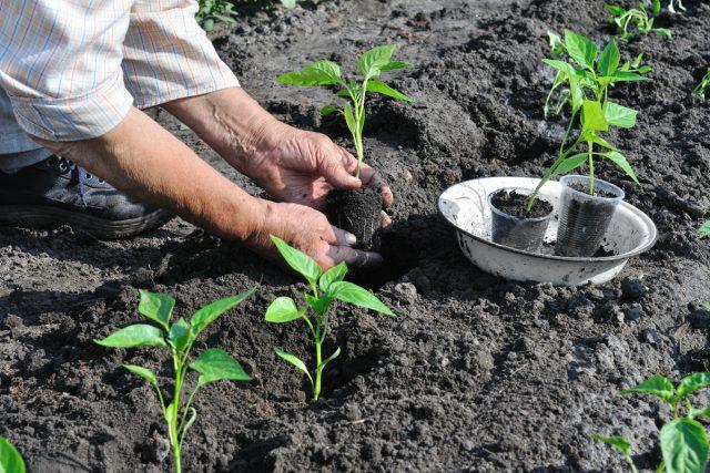 С высадкой рассады перца в почву спешить не стоит