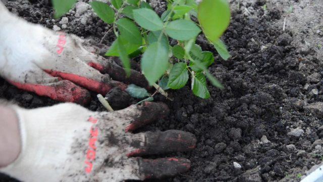 Как высадить саженцы роз в открытый грунт правильно?