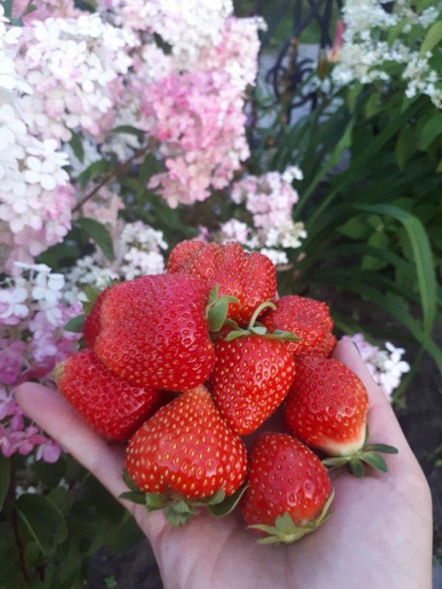 Крупные ягоды клубники.