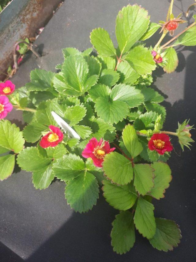 Красноцветковая клубника