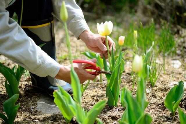 Излишнее усердие в срезке тюльпанов приводит к самым печальным последствиям