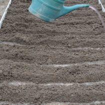 Полностью заделайте посаженные луковицы почвой. Затем хорошо пролейте всю грядку