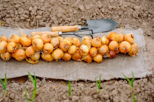 Посадка репчатого лука весной и правила хорошего урожая