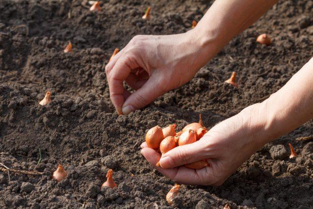 Лук-севок высаживают в неглубокие (5-8 см) бороздки с междурядьем в 20 см