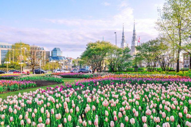 Оттаву по праву считают столицей тюльпанов Восточного полушария