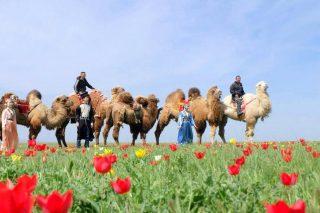 С 2013 года проводится фестиваль, посвященный цветению диких тюльпанов в степях Калмыкии
