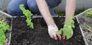 Высадите сеянцы, размещая росточек по центру лунки