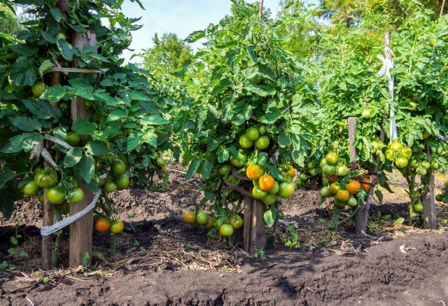 Высокорослые томаты позволяют экономить место грядок