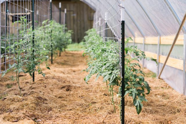Для индетерминантных томатов нужно контролировать температуру