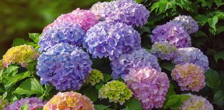 Гортензия — секреты цветного превращения