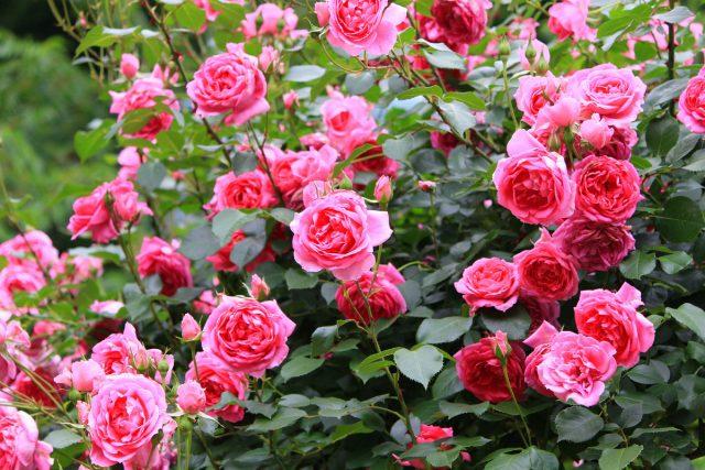 10 правил по-настоящему обильного цветения роз