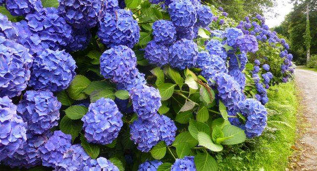 Цветущая голубая гортензия