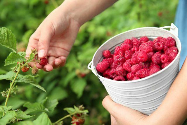 6 эффективных методов увеличения урожая малины