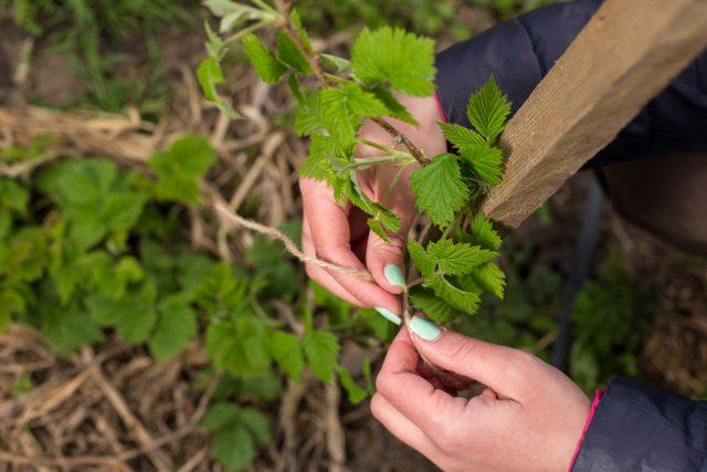 Подвязка — универсальное решение для малины