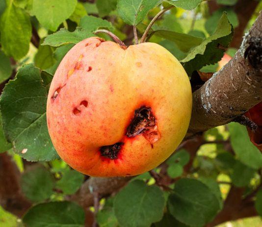 Плодожорка — борьба с прожорливым врагом сада