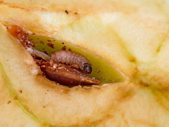 Гусеница плодожорки лакомится яблоком